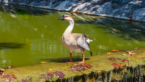 Brown goose on the weir Royalty Free Stock Images
