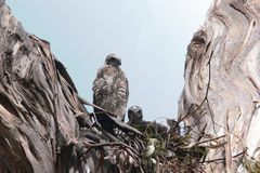 Brown Goshawk chicks Stock Image