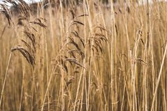 Brown Grass Royalty Free Stock Photography