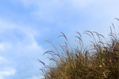 Brown grass with blue sky as background texture Royalty Free Stock Photography