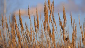 Brown grass on blue sky background in winter. stock footage