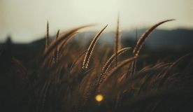 Brown Grass Close Up Photography Royalty Free Stock Image