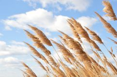 Dry dune grass. With a blue sky background Stock Photo
