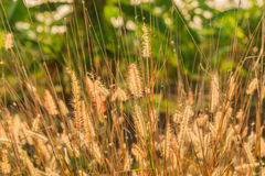 Brown grass field in the morning. Brown grass field in the morning Royalty Free Stock Photos
