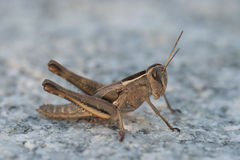 Brown Grass hopper Stock Photography