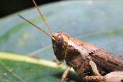 Brown grass hopper Stock Images