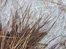 Brown plants and ice near river, Lithuania Royalty Free Stock Image