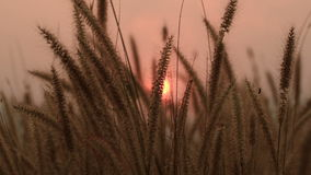 Brown grass with sunset in the wind stock video footage