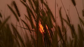 Brown grass with sunset in the wind stock footage