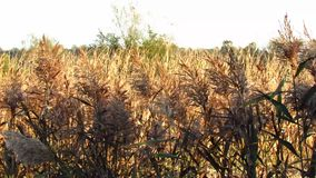 Brown grass in the wind stock video