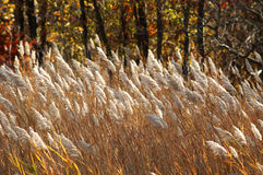 Brown Grasses. Tall grass blowing in the wind.  Early autumn Royalty Free Stock Images