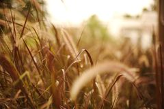 Brown grasses with blur background in the sunlight royalty free stock photos