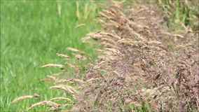 Brown grasses moving in the wind stock video footage
