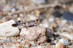 A brown grasshopper Royalty Free Stock Images