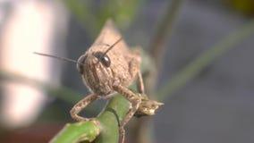 Brown Grasshopper auf einem Stock Extrem-Nahaufnahme-Makroaufnahme stock video footage