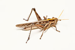 Brown grasshopper  on clean floor Royalty Free Stock Image