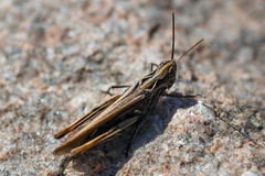 Brown grasshopper Royalty Free Stock Photography