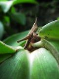 Brown Grasshopper. Closeup Brown Grasshopper shot taken on a little Green leaf Royalty Free Stock Photos