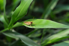 Brown grasshopper Royalty Free Stock Images