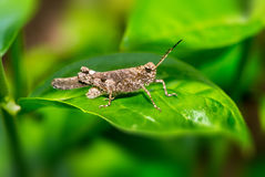 Brown Grasshopper on the grass Royalty Free Stock Photo