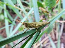 Brown grasshopper on green grass, Lithuania Royalty Free Stock Photos