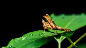 Brown Grasshopper Stock Photos