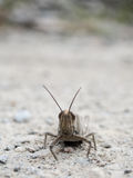 Brown Grasshopper Head and Antenna. A common brown field grasshopper on rocky dirt Stock Photo