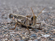 Brown grasshopper Stock Photo