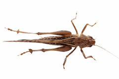 Brown Grasshopper isolated on white Stock Images