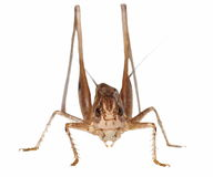 Brown Grasshopper isolated on white Stock Photo