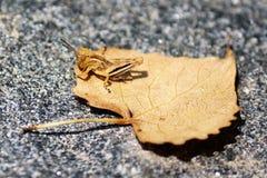 Brown Grasshopper on a leaf. Brown grasshopper enjoying the sun on a dried brown leaf resting on asphalt Stock Photography