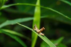 Brown grasshopper on leaf Royalty Free Stock Photos