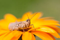 Brown grasshopper on orange marigold Royalty Free Stock Images