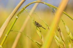 Brown grasshopper Stock Photography