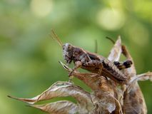 Brown grasshopper. On the plant Royalty Free Stock Photos