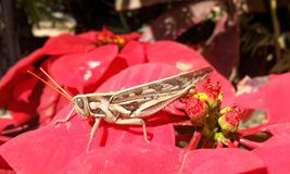 Brown Grasshopper on red Christmas flower Royalty Free Stock Photos