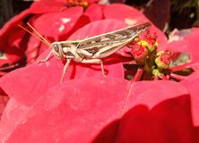 Brown Grasshopper on red Christmas flower Stock Image