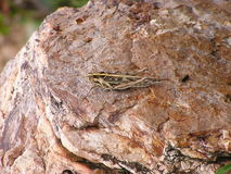 A Brown Grasshopper Resting on the Brown Rock Stock Photography
