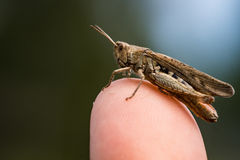 Brown grasshopper sitting on a finger tip Royalty Free Stock Photo