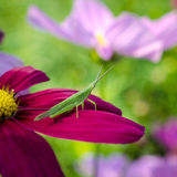 Brown grasshopper sitting on pink flower, macro Royalty Free Stock Image