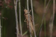 Brown Grasshopper Royalty Free Stock Photos