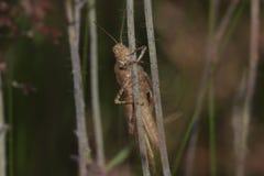 Brown Grasshopper Royalty Free Stock Photos