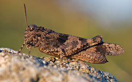 Brown grasshopper on stone. Macro shot of beautiful brown grasshopper on stone. Oedipoda caerulescens stock photography