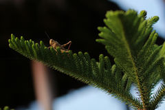 Brown grasshopper at the top of spruce Royalty Free Stock Images