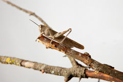 Brown grasshopper Royalty Free Stock Photo