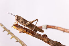 Brown grasshopper Stock Photography