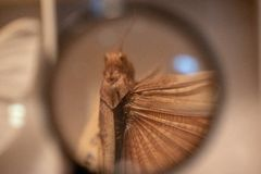 Brown Grasshopper Under Magnifying Glass royalty free stock photography