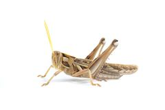 Brown grasshopper on white background Royalty Free Stock Photography