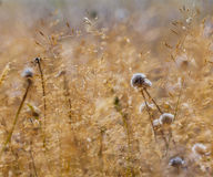 Brown Grassland with Blue Flowers Royalty Free Stock Images