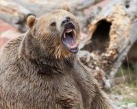 Brown-Graubär-Bär Lizenzfreies Stockbild